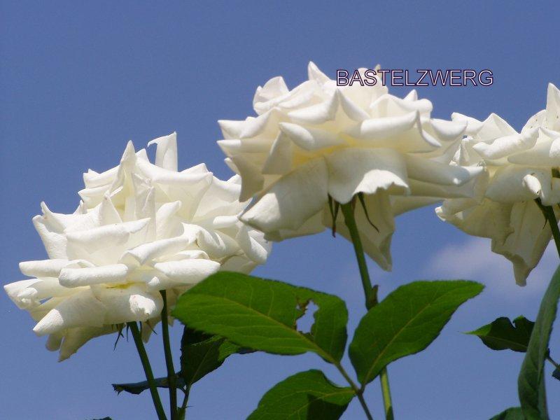 herrlicherr Foto Kalender wunderschöne Rosen