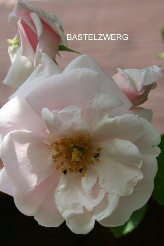 außergewöhnlicher Foto Kalender Zauber der Rosen